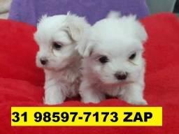 Canil Excelência Filhotes Cães BH Maltês Yorkshire Lulu Pug Bulldog Basset Shihtzu Lhasa