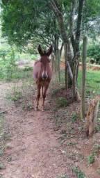 Vendo mula nova 3anos de idade muito Mansa filha de égua de sangue
