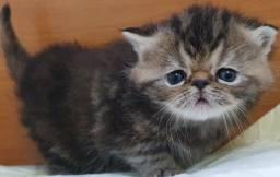 Filhote de gata persa femea pura.Entrego em Joinville Itajai,BCamboriu Florianópolis