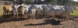 Vendo vacada Vacas nelore  e Cruzadas.