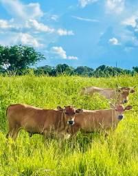 Casal de gado da raça Curraleiro, venda ou troca em bezerras