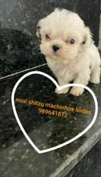 Shitzu mini fêmea  e machodamos garantias