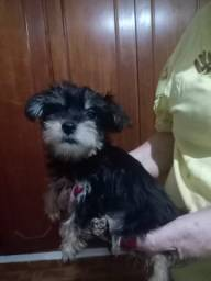 Lindo filhote de york terrier mini