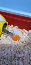 Hamster Anão russo!