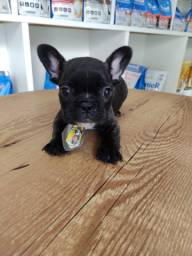 Fofurinha Bulldog Francês