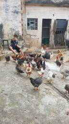 Frangas galinhas galos e patas