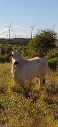 Vaca parida PO registrada