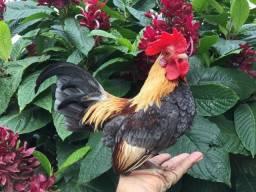 Ovos galados de minis galinhas