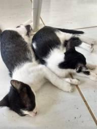 Doação Gatinhos , macho e fêmea. Guajará-Mirim