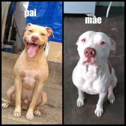 Pit Bull olhos azuis