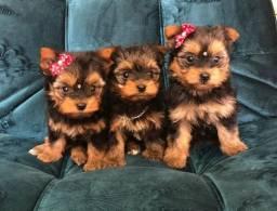 Lindos filhotes de mini York top 50dias