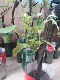 Vendo muda de uva