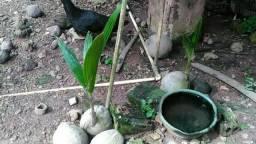 Vendo mudas de coco