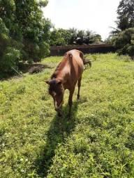 Cavalo de passeio