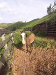 Vendo cavalo macha batida ou troca em uma égua