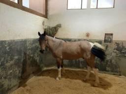 Vendo cavalo crioulo Tobiano