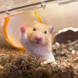 Hamster sírio 8,00 reais