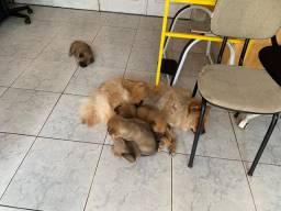 5 filhotes chow - chow