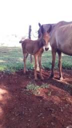Vendo égua parida  de mula