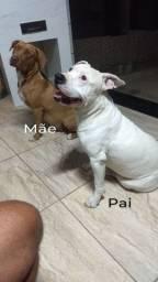 American Pit Bull terrier, Black e Red.