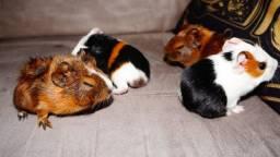 filhotes porquinhos da índia várias raças inglês , peruano e abissínio Apucarana