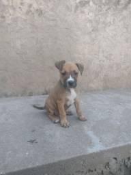 Filhotes de Pitbull American terrier