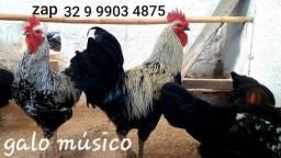 % Dúzia % Ovos galados de galo músico cantor canto longo e galinhas músicas. Kit DZ.