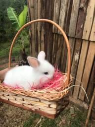 filhotes de coelho mini