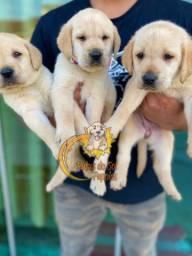 Labradores Encantadores Filhotes
