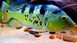 Aquarismo jumbo: Oscar e Tucunaré Amarelo e Azul