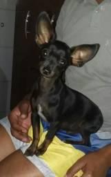 Cachorro pinscher para Cruza