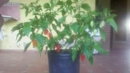 Mudas da pimenta mais ardida do mundo