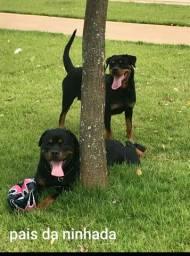 Filhotes Rottweiler venda ou troca