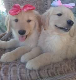 Machos e Fêmeas Golden Retriever Filhotes!!!