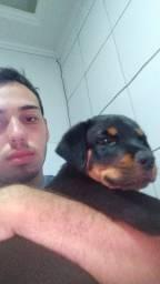 Rottweiler com 2 mês vermugado