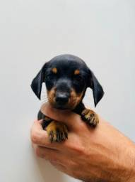 Basset hound femea