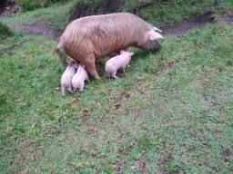Porca com cria e porca prenha