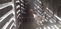 Vendes-se 4 galinhas