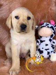 Filhotes fofos de Labrador