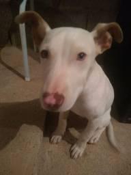 Vendo cachorro Pitbull rednool