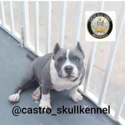 American bully macho 5 meses