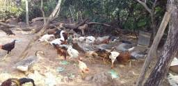 Frangos gansos patos