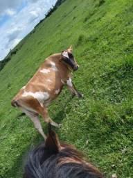 Vaca jersolanda