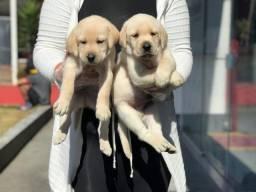 Labrador amarelo, chocolate e preto!