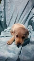 Lindas Fêmeas de Labrador com 1 Vacina