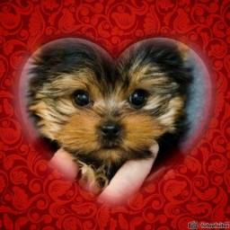 Fofinhos filhotes de Yorkshire Terrier
