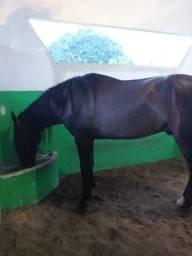 Cavalo Campulino