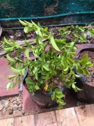Título do anúncio: Mudas da planta milagrosa ! ora-pro-nóbis
