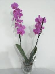 Vendo Orquídeas