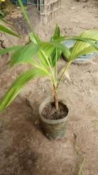 Vende-se 8 mudas de palmeira imperial